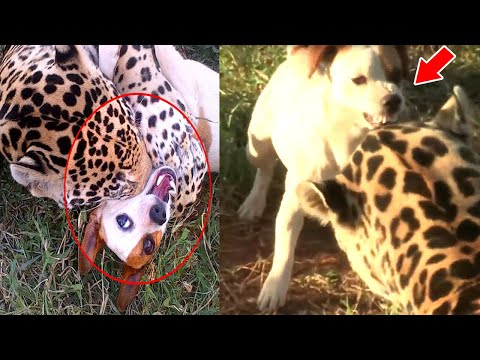 Cheetah Leaps On Dog But Then WATCH WHAT HAPPEND Something Hard to Believe .. This is NOT a Joke