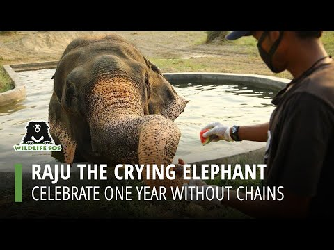 Raju's One Year With No Tears!