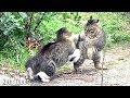 野良猫の喧嘩!鳴き声、威嚇、睨み合い、取っ組み合い!(縄張り争い)Cat Fight over territory