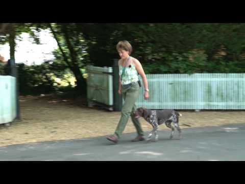 Young German Shorthaired Pointer learns to walk to heel off lead