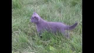 Британский котенок голубого окраса\British Shorthair blue kitten.