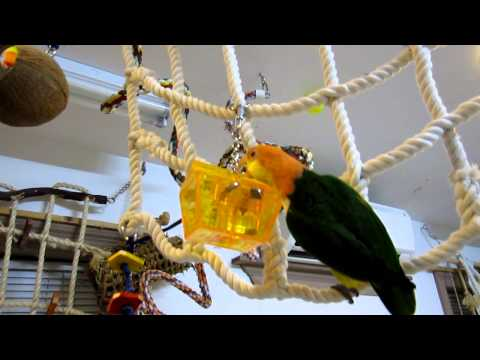 Chickie Caique works on the treasure chest