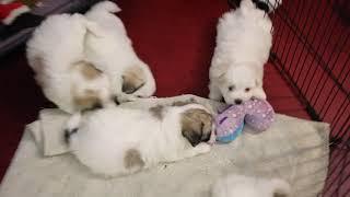 Coton Puppies For Sale - Eliza 11/20/19 #2