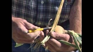 Onion Xanthomonas Bacterial Disease