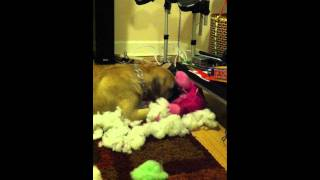 Brutus Pulling The Stuffing Out Of A Stuffed Animal