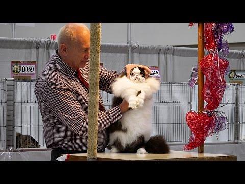 CFA International 2016 - Larry Adkison's longhair kitten final