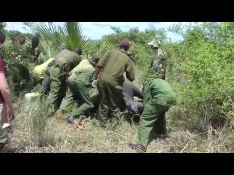 Treating a Rhino with Severe Filariasis Wounds