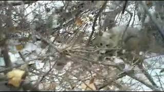 Охота на шакала с лайками