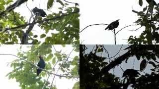 Kicau Burung Langka Beo Liar Suara Unik