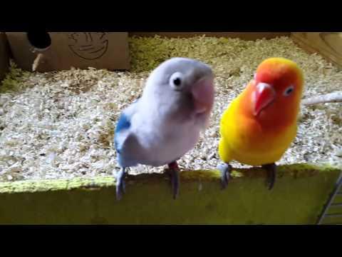 CANTO DE AGapoRnIs (HERMOSA Melodia 🐣)