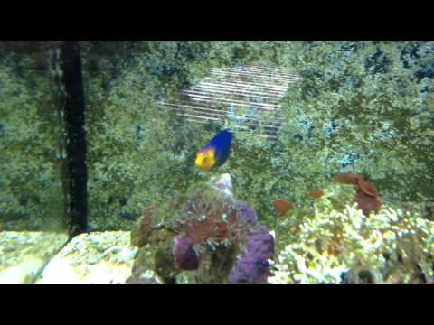 Cherub Dwarf Angel Fish Always Active Saltwater 14G BioCuibe