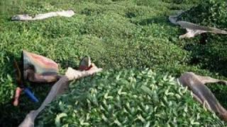Çay Üreticileri Organik Gübre Belirsizliğinden Şikayetçi