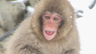 【SNOW MONKEY】ニホンザル / 地獄谷野猿公苑 ☆Cute Baby☆ First Snow Life 2