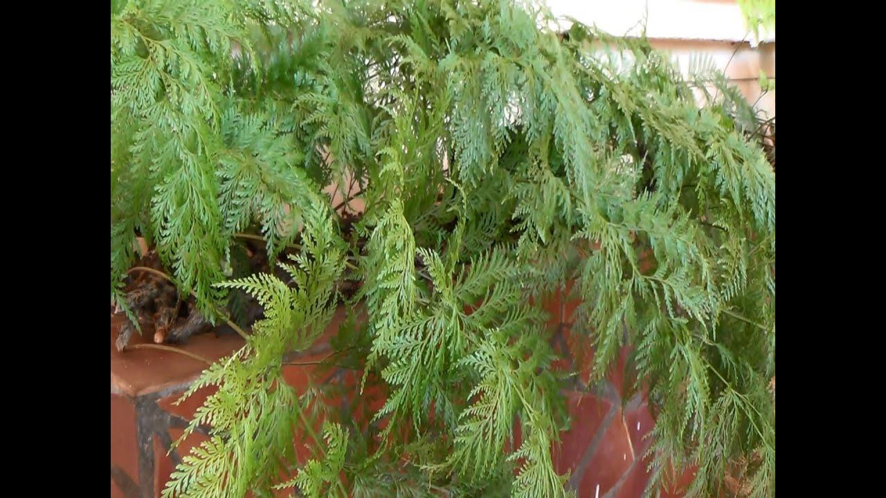Como fazer mudas de samambaia renda portuguesa davallia for Como criar caracoles de jardin