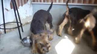 エアデールテリア子犬販売情報http://www.dog-lien.com/index.php?Aired...