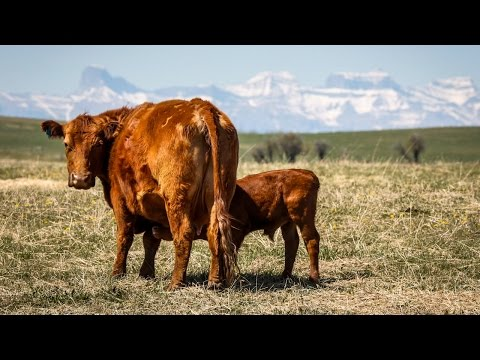 Alberta county piles $1.5M tax grab on hard-hit beef farmers