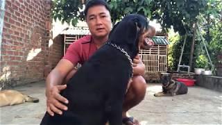 Cách huấn luyện một số lệnh cơ bản cнo chó Rottweiler||Cuộc sống thường ngày
