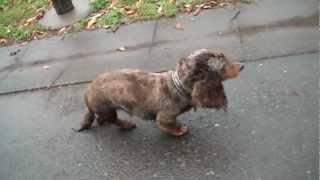 散歩大好きホッピーは雨が降っても、地面が濡れててもお構いなし(汗) ...
