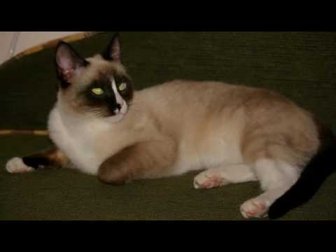 Snowshoes cat  History,Personality,Health,Care