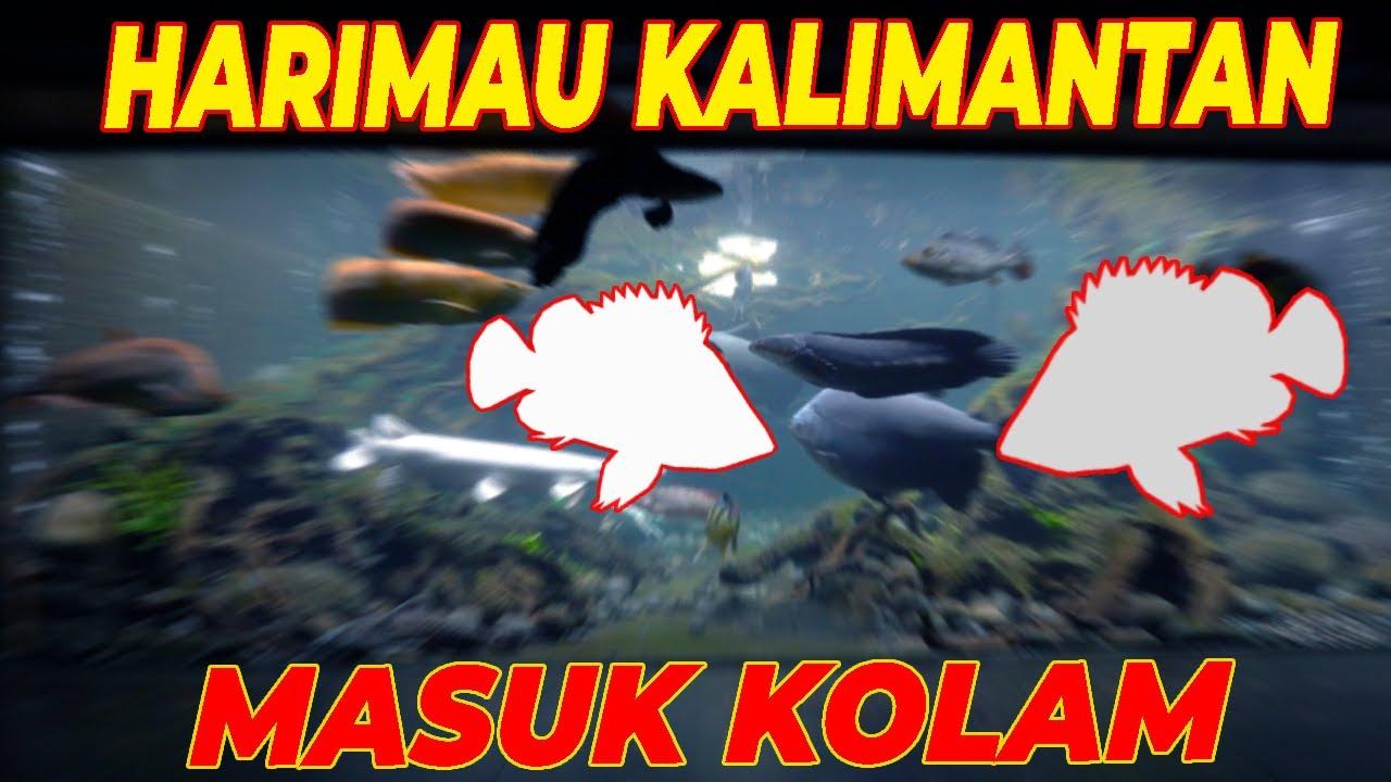SUPER MEGA TANK | KEMBALINYA TIGER FISH. UDAH GEDE AJA!!