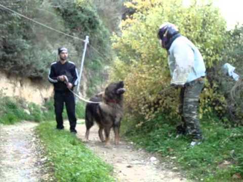 'Arkos' Makedoniki Frouri (Caucasian Ovcharka)