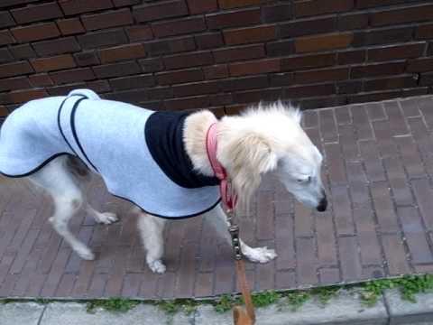 保護犬のサルーキのサラ お散歩(2)