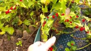видео Земляничная шпинат-малина