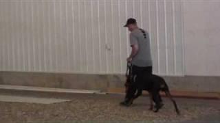 Doberman Pinscher Indigo - Boot Camp Dog Training Graduate