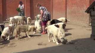 Щенки алабая, туркменский волкодав.(, 2013-05-14T19:33:23.000Z)