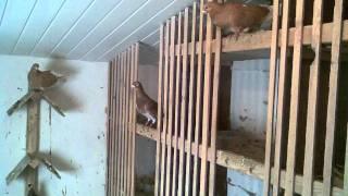 Moja hodowla gołębi - Kock 2011