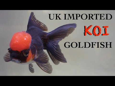 Northants Koi & Fancy Goldfish UK Importer 金​魚 Oranda Ryukin Ranchu Goldfish Pond Panda Moor