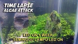 Bagaimana Alga Merusak Tanaman Aquascape - Timelapse Video
