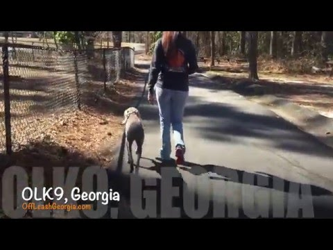 "6 Month Old Weimaraner ""Bailey"" Before/After Video 