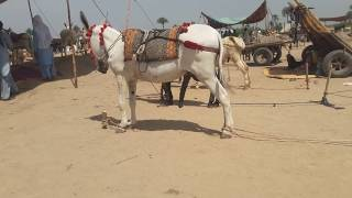 Download Super Murrah Donkey Meeting First Time Mp3 and Videos