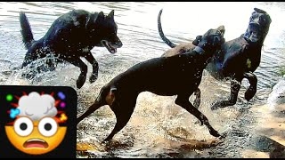 2 HUGE Dominant Dogs Try to 'PUNK' My Blue Bay Shepherd at Off Leash Park  How Does He React?