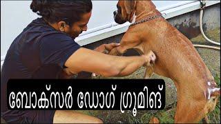ബോക്സർ ഡോഗിനെ എങനെ ഗ്രൂമിങ് ചെയ്യാം Boxer Dog Bath Boxer Dog Grooming Boxer Dog Malayalam Boxer Dog