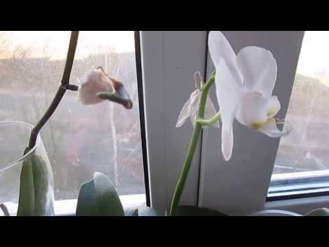 Почему у Орхидеи опадают,сохнут бутоны,вянут цветы!