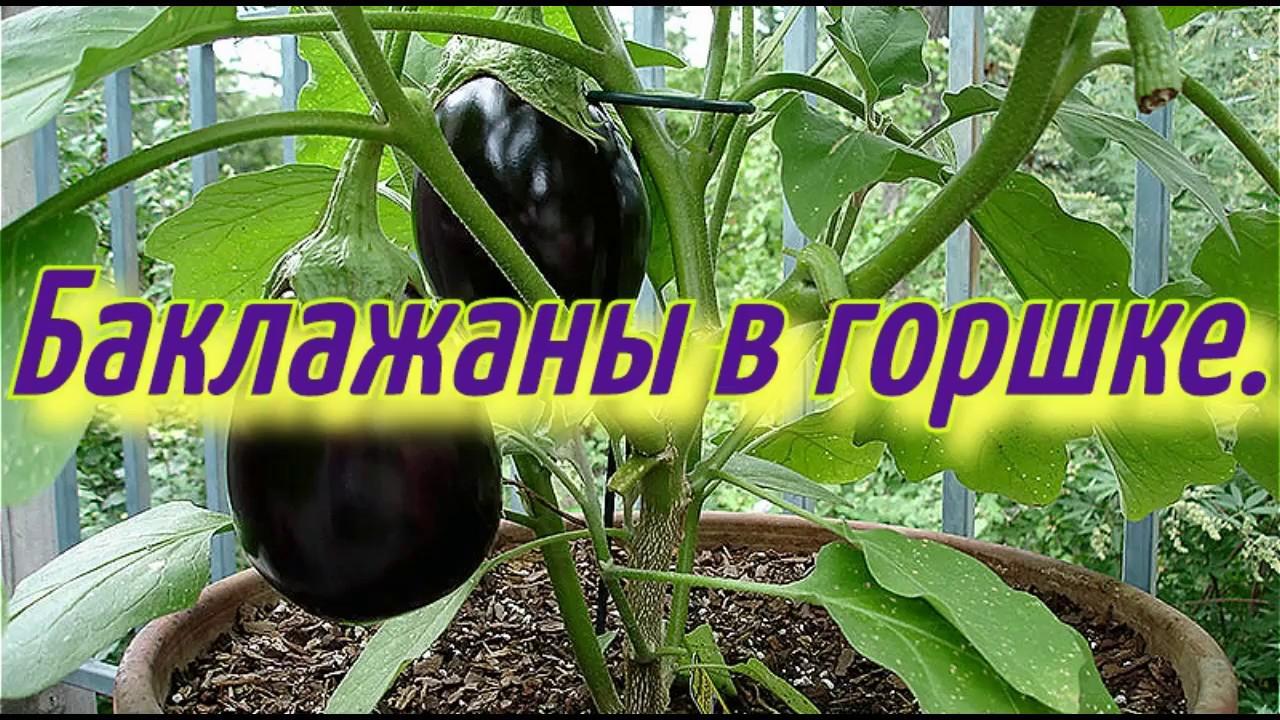 Баклажаны в горшке(часть-1).Баклажаны выращивание в горшке ...
