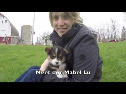 Adopting Mabel Lu Corgi Puppy
