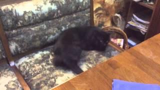 Оливковое масло в жизни кота(Что может быть, если кот хочет жить в оливковом масле!!!)))))), 2015-01-30T21:48:29.000Z)