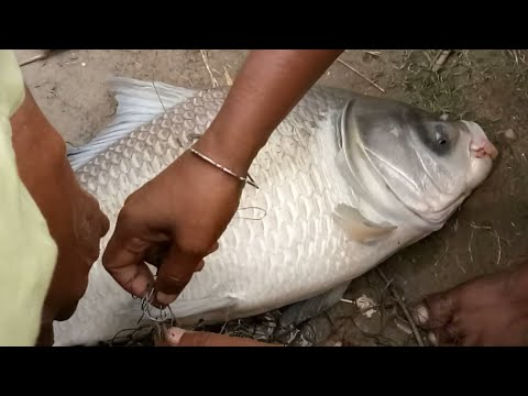 8 kg+big katla fight with fish hunter at pond|| inchura hooghly west bangla|| india