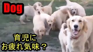 子犬の子育てにお疲れ気味?な親犬たち 子犬の子育てをする親犬の映像で...
