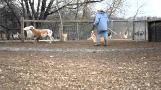 Kit's Herding Instinct Test  - Pembroke Welsh Corgi