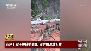 [今日亚洲]速览 悲剧!猴子被蟒蛇勒死 猴群围观难相救| CCTV中文国际