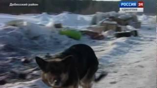 Удмуртский волк внедрился в стаю собак