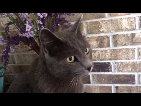 Everyday Reviews: My Russian Blue, Mr. Meegles the Cat
