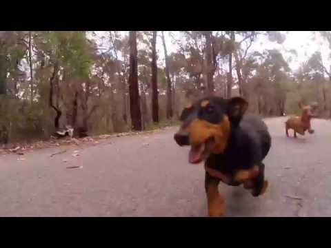 Dachshund Puppy Galloping