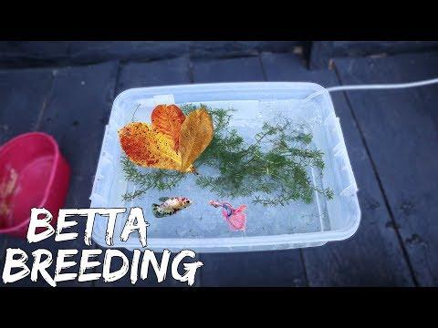 BETTAFISH BREEDING (part 1) - PAIRING BETTA FISH & PUTTING IN THE BREEDING TANK