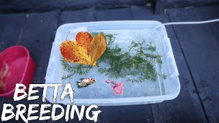 BETTAFISH BREEDING (part 1) - PAIRING BETTA FISH & PUTTING IN THE BREEDING TANK