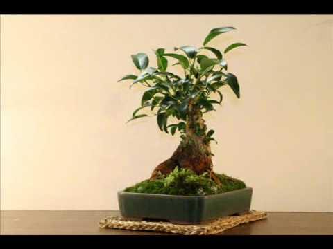 bonsai starter, bonsai tools, bonsai tree, bonsai shapes, bonsai wire sizes, bonsai cultivation and care, bonsai accessories, bonsai artist, bonsai wire sets, bonsai copper wire, bonsai without wires, bonsai blue, bonsai lamps, bonsai ficus varieties, bonsai jade, on why wiring bonsai
